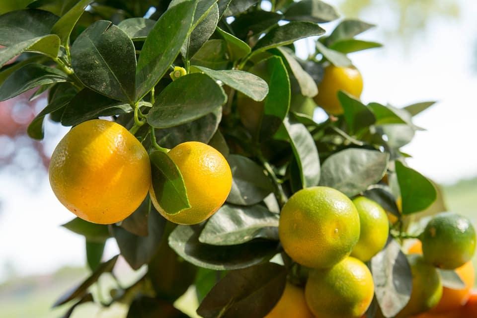 Le citron Kalamansi